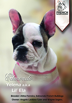 French Bulldogs | French Bulldog Breeders | Top Quality Champion